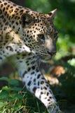 Leopardo africano immagini stock