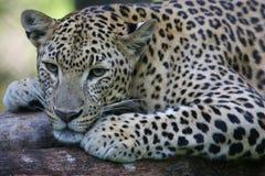 Leopardo africano Foto de archivo
