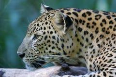 Leopardo africano Imágenes de archivo libres de regalías