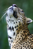 Leopardo africano Foto de Stock
