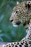 Leopardo africano Imagens de Stock Royalty Free