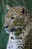 Leopardo africano Fotos de Stock