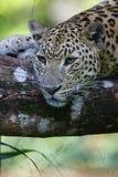 Leopardo africano Fotos de Stock Royalty Free