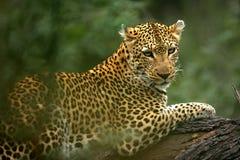 Leopardo africano Imagenes de archivo