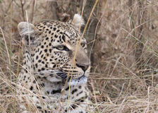 Leopardo africano Foto de archivo libre de regalías