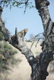 Leopardo africano Fotografía de archivo libre de regalías