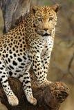 Leopardo africano Imagen de archivo libre de regalías