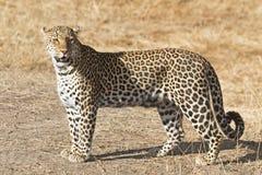 Leopardo africano Fotos de archivo