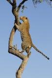 Leopardo africano che si arrampica, Sudafrica Fotografie Stock Libere da Diritti