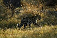 Leopardo africano Cub Immagini Stock Libere da Diritti