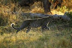 Leopardo africano Cub imagem de stock royalty free