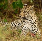 Leopardo africano da mãe que come sua rapina Fotografia de Stock