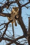 Leopardo africano después de alimentar fotografía de archivo libre de regalías