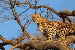 Leopardo africano en árbol foto de archivo