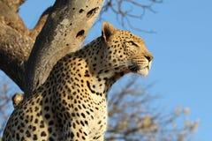 Leopardo africano en árbol imágenes de archivo libres de regalías