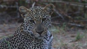Leopardo africano en Kenia almacen de metraje de vídeo