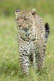 Leopardo africano femenino (pardus) del Panthera Serengeti, Tanzania Foto de archivo libre de regalías