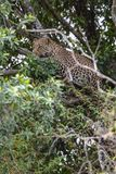 Leopardo africano na árvore Masai Mara, Kenya fotografia de stock