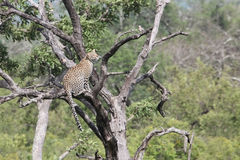 Leopardo africano na árvore Parque de Kruger Fotos de Stock Royalty Free
