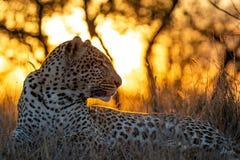Leopardo africano no crepúsculo foto de stock royalty free