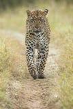 Leopardo africano (pardus) del Panthera Suráfrica Imagen de archivo libre de regalías
