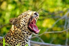 Leopardo africano que boceja Fotografia de Stock