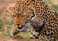 Leopardo africano que prepara-se para atacar com a pata dianteira elevado no movimento Imagem de Stock