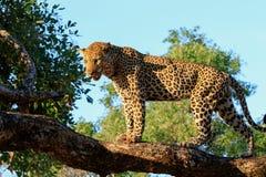 Leopardo africano que se coloca en la cima de un árbol que mira, con un fondo brillante del cielo azul y del árbol en el parque n foto de archivo libre de regalías