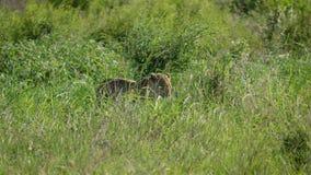Leopardo africano salvaje en alta sabana de la hierba almacen de video