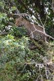 Leopardo africano sull'albero Masai Mara, Kenia fotografia stock