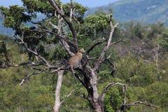 Leopardo africano in un albero che esamina la colomba Immagini Stock Libere da Diritti