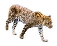 Leopardo aislado imágenes de archivo libres de regalías