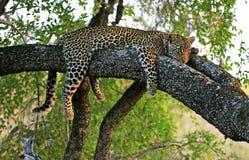 Leopardo in albero Fotografia Stock Libera da Diritti