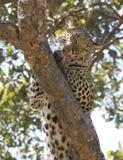 Leopardo in albero Fotografie Stock