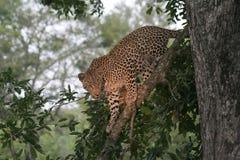 Leopardo in albero fotografia stock