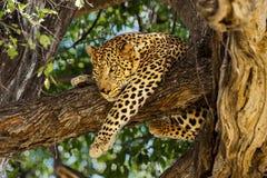 Leopardo in albero immagine stock libera da diritti