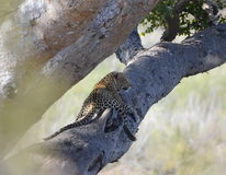 Leopardo in albero Immagine Stock