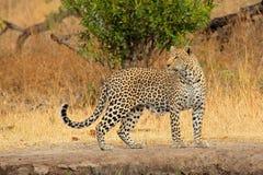 Leopardo alerta Fotos de Stock Royalty Free