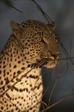 Leopardo alla notte Fotografie Stock Libere da Diritti