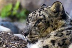 Leopardo allo zoo di Toronto Fotografia Stock