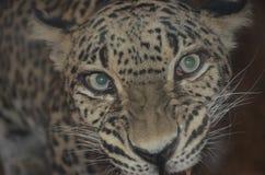 Leopardo anatólio, olhos Imagem de Stock