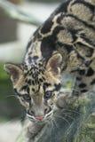 Leopardo appannato Fotografia Stock