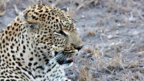Leopardo, arenas de Sabi, parque nacional de Kruger Fotos de archivo libres de regalías
