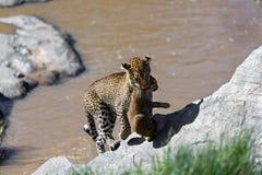 Leopardo Bahati que leva seu filhote ao banco de rio no Masai Mara, Kenya imagens de stock royalty free