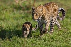 Leopardo Bahati y cachorro en Masai Mara, Kenia Foto de archivo