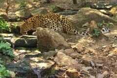 Leopardo bebendo Fotografia de Stock Royalty Free