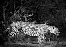 Leopardo in bianco e nero Fotografia Stock Libera da Diritti