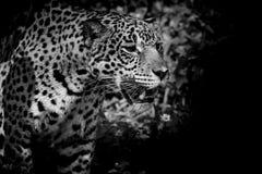 Leopardo blanco y negro Imágenes de archivo libres de regalías