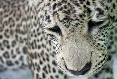 Il leopardo Immagini Stock