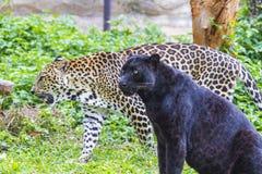 Leopardo bonito imagens de stock